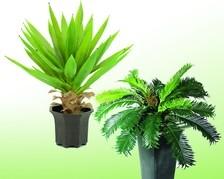 Niedrige Palmbüsche