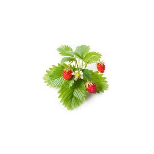Symbolbild: Wilde ErdbeereM5260600